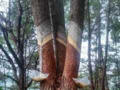 山間松林裡跳躍著的熟悉身影,是為了從松樹身上取寶,更為了各自的慨嘆