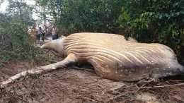 亞馬遜雨林中驚現一頭座頭鯨,莫名死在這裡,上岸原因至今成謎