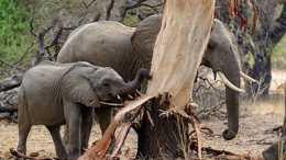 """大象北遷破壞農田842畝,但為什麼說大象其實是在""""保護環境""""?"""